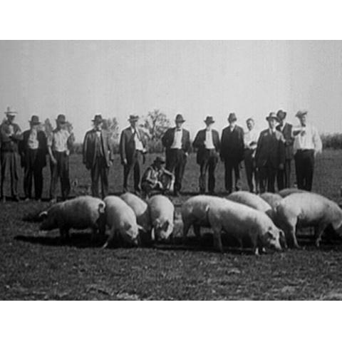 1923年の養豚